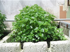 Mẹo trồng và chăm sóc rau càng cua tại nhà vô cùng đơn giản