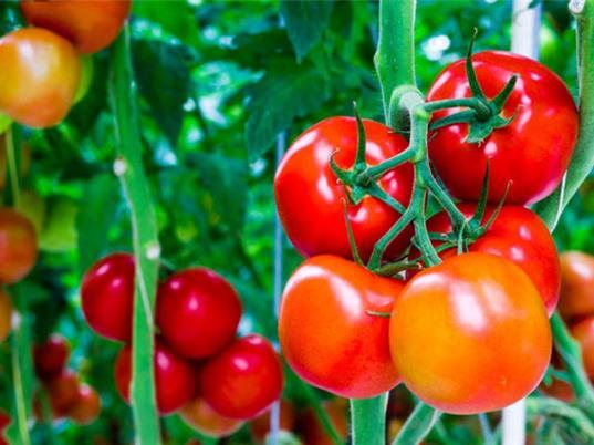 Giảm nguy cơ mắc ung thư tiền liệt tuyến bằng cách... ăn cà chua