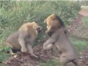Clip: Màn hỗn chiến kịch liệt của 2 con sư tử đực