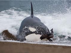 Clip: Cá voi sát thủ lao lên bờ săn giết hải cẩu