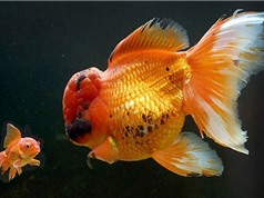 Cá vàng lớn nhất nước Anh có giá đắt... như vàng