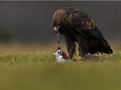 Clip: Đại bàng giết gà gô trong chớp mắt