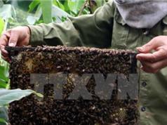 Tây Nguyên đầu tư cho ngành nuôi ong hàng hóa