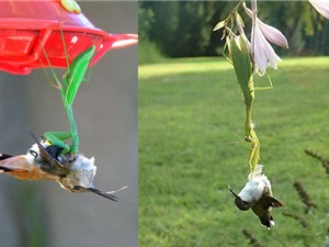 """Clip: Màn săn chim ruồi và chuột """"siêu tốc"""" của bọ ngựa"""