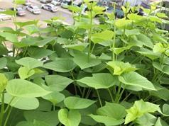 Kỹ thuật trồng và chăm sóc rau lang siêu đọt tại nhà