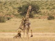 """Hai sư tử đực hạ gục hươu cao cổ trong vòng """"1 nốt nhạc"""""""