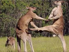 """Clip: Màn """"đấu võ"""" kịch tính của Kangaroo"""
