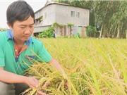 Đồng Tháp: Hiệu quả áp dụng mô hình giảm giá thành sản xuất lúa
