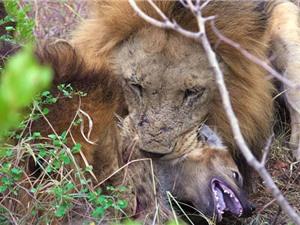 Clip: Bầy sư tử sát hại linh cẩu dã man