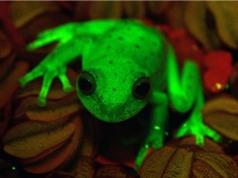 Phát hiện loài ếch huỳnh quang đầu tiên trên thế giới