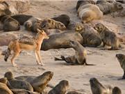 Clip: 40 chú chó hoang xé xác hải cẩu con
