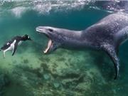 Clip: Hải cẩu săn giết chim cánh cụt