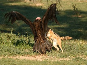 Cận cảnh màn đại chiến giành mồi của kền kền và chó rừng