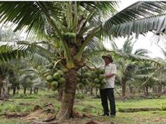 Quảng Ngãi: Thu nhập cao nhờ trồng dừa dứa