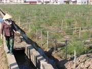Độc nhất vô nhị trồng măng tây xanh vùng ven biển, thu 3 triệu đồng/ngày