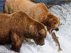 Clip: Gấu xám săn cá hồi đỏ trên đỉnh thác