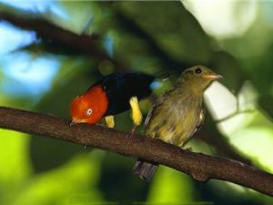 """Clip: Loài chim dùng điệu nhảy huyền thoại của Michael Jackson để… """"tán gái"""""""