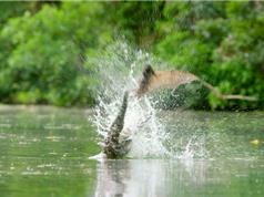 Clip: Cá sấu lao lên không tóm gọn dơi quạ
