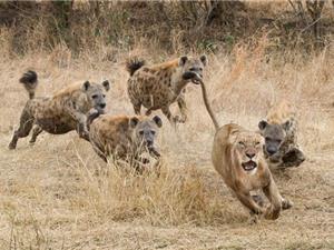 Clip: Bầy linh cẩu vây giết sư tử