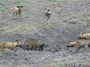 Clip: Heo rừng chiến đấu với bầy chó hoang