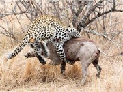 Clip: Màn săn heo rừng vô cùng lợi hại của báo