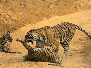"""Hổ con nhận cái kết """"đắng"""" vì cả gan chọc tức mẹ mình"""
