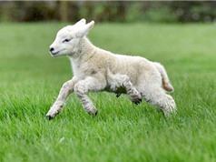 """""""Quái thai"""" cừu 5 chân xuất hiện ở Anh"""