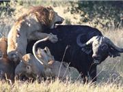 """Clip: Bầy sư tử """"toát mồ hôi"""" săn giết trâu rừng"""