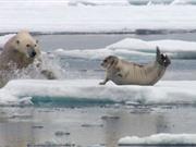 """Clip: Hải cẩu chết thảm trước gấu trắng vì… quá """"béo"""""""