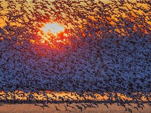 """Hàng nghìn con ngỗng bay """"lấp kín"""" bầu trời"""