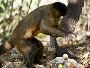 Clip: Khỉ thông minh biết dùng đá làm búa đập thức ăn