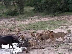 """Clip: Bầy sư tử """"mất ăn"""" khi trâu rừng dù võ sở trưởng"""