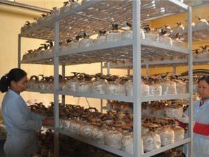 Lạng Sơn: Làm chủ quy trình sản xuất nấm Linh chi đỏ