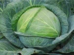 Bí kíp tự trồng cải bắp trong thùng xốp cực đơn giản