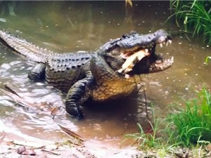 """Clip: Màn săn rùa """"đẫm máu"""" của cá sấu"""