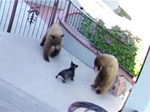 """Clip: Chó nhỏ đuổi đánh 2 con gấu chạy """"trối chết"""""""