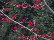 Ngắm hoa gạo đẹp rực rỡ trên núi rừng Tây Bắc hùng vĩ