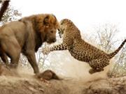 Clip: Báo đốm suýt chết trước nanh vuốt sư tử