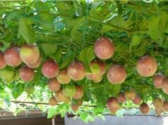 Kỹ thuật trồng và chăm sóc chanh dây tại nhà cho quả sai