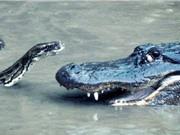 """Clip: Tấn công cá sấu, trăn nhận cái kết """"đắng"""""""