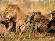 Clip động vật đại chiến ấn tượng nhất tuần: Linh cẩu giết sư tử, cá sấu ác chiến với trăn khổng lồ