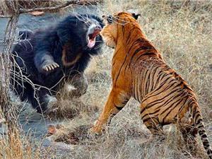 Clip: Kinh hoàng cảnh gấu đen đại chiến mãnh hổ