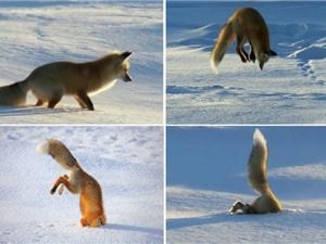 """Clip: """"Tuyệt chiêu"""" săn mồi độc đáo của cáo tuyết"""