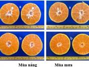 Nghiên cứu cây quýt đường không hạt được phát hiện tại Đồng Tháp