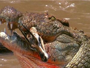 Clip: Những màn săn mồi siêu tốc của cá sấu