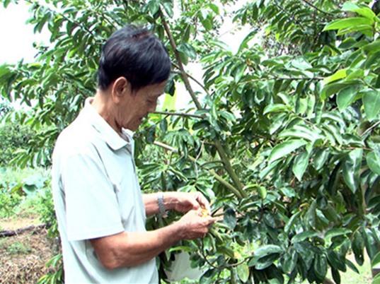 Trồng cây tiền tỷ: Thu tiền tỷ từ trồng mãng cầu xiêm trên đất nhiễm phèn