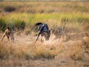 Clip: Linh dương đầu bò chiến đấu với 3 con sư tử