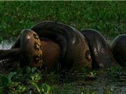 Clip: Trăn khổng lồ nuốt gọn thú gặm nhấm lớn nhất thế giới
