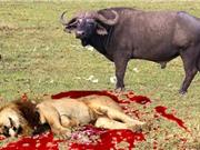 Clip: Trâu rừng húc chết sư tử