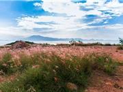 Đồi cỏ lau thơ mộng gây 'sốt' ở đảo Bình Ba